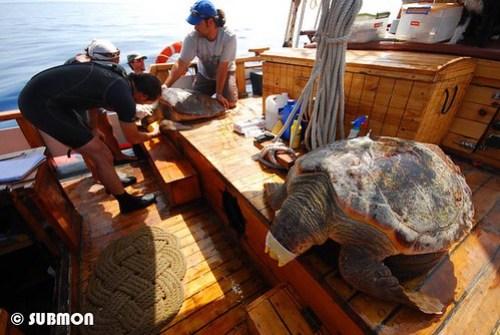Trabajo con tortugas a bordo del Toftevaag