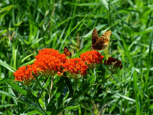 butterfly milkweed with fritillary and pearl crescent 1