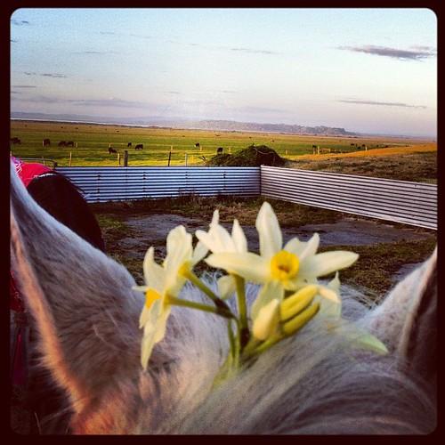 Flowers in her hair #jonquils #horse #highview