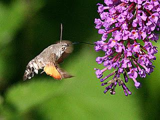 1984-hummingbird-hawk-moth-macroglossum-stellatarum
