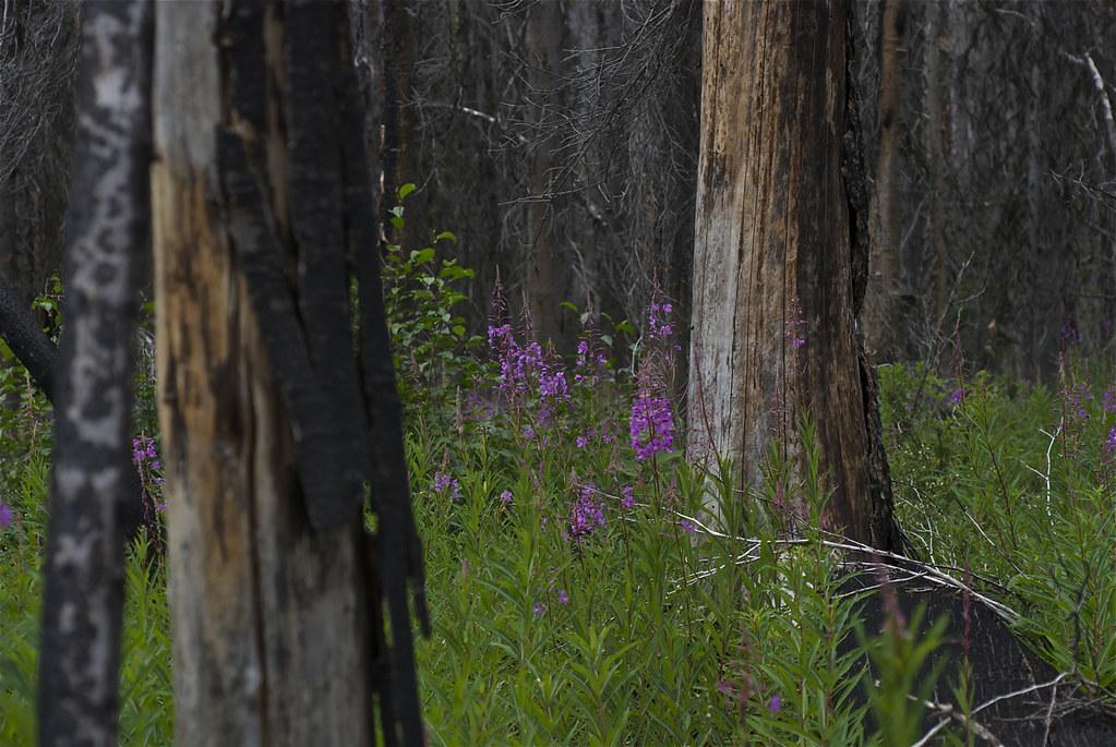 FireFireweed, Chamerion angustifoliumweed