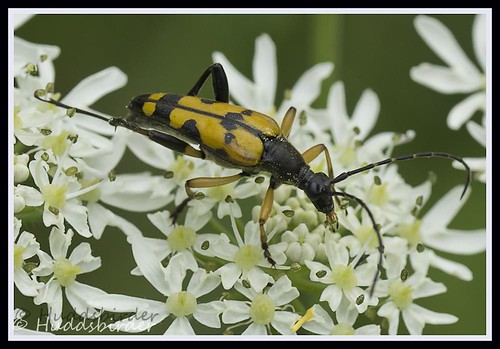 Spotted Longhorn (Rutpela maculata)