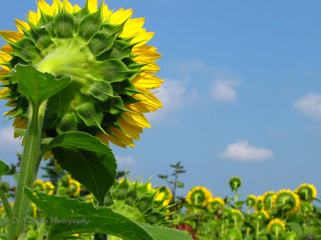 Sunflower & Blue Sky