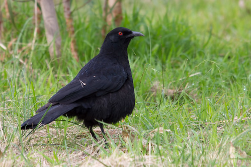 White-winged Chough 2012-07-13 (_MG_0899)
