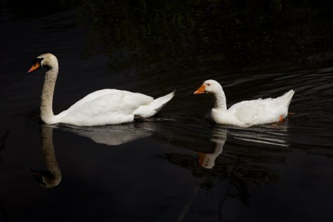 Swan and Goose