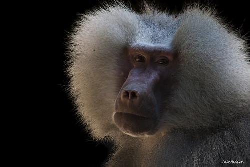 Mantel baviaan - Baboon