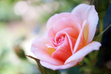 Rose Francois Poisson バラ フランソワ ポワッソン