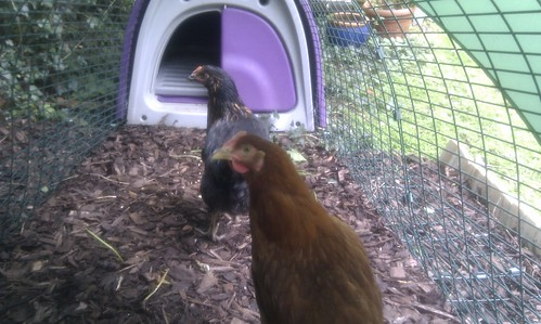 New chickens seem to be settling in quite well