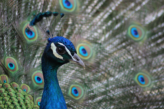 Photo:Peacock By:Pete PJRV
