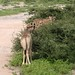 Etosha National Park impressions, Namibia - IMG_3096_CR2_v1