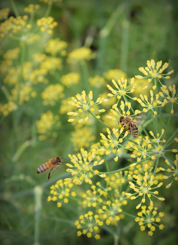 20120812. Honey bees on fennel flowers.