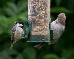 coal tit & female house sparrow