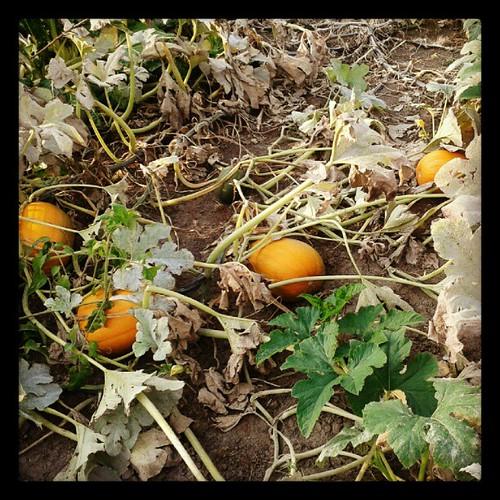 Pumpkin patch at the Park Forest Community Garden