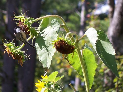 birds love sunflowers