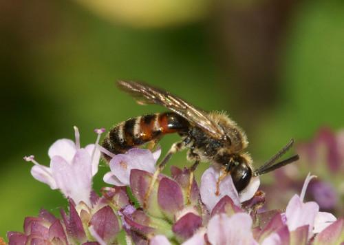 Lasioglossum calceatum (Slender Mining Bee)