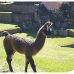 Baby llama at Machu Picchu