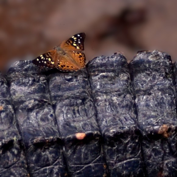 Butterfly on the Gator