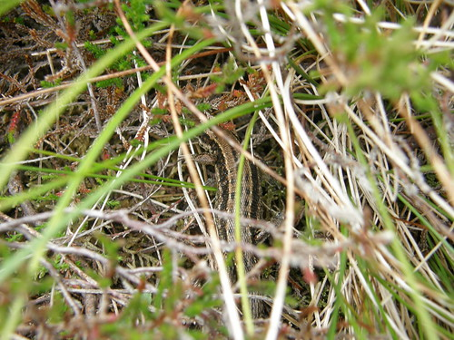 Wary common lizard