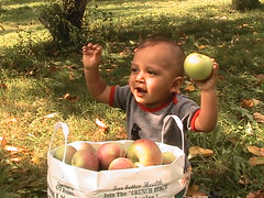baby apple picking 2