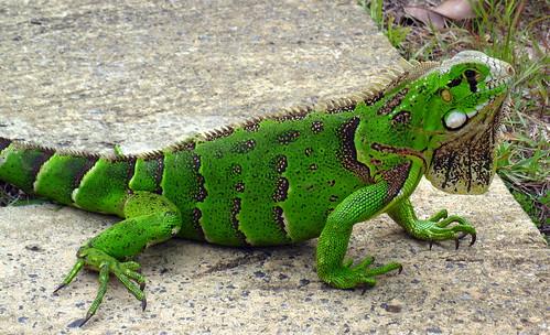 Green Lizard (Iguana). Sauipe, Bahia, Brasil