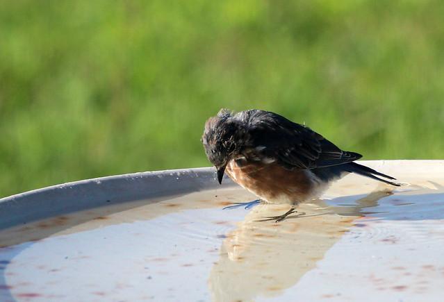 Young female bluebird