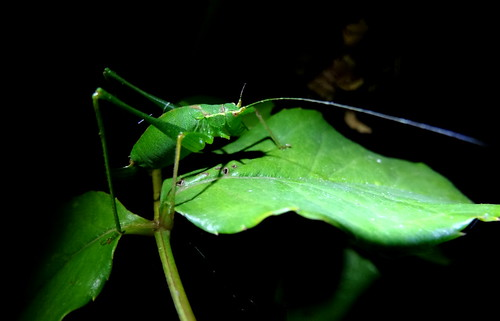 Speckled Bush Cricket by tomp77