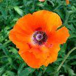Alnwick Gardens Orange Poppy