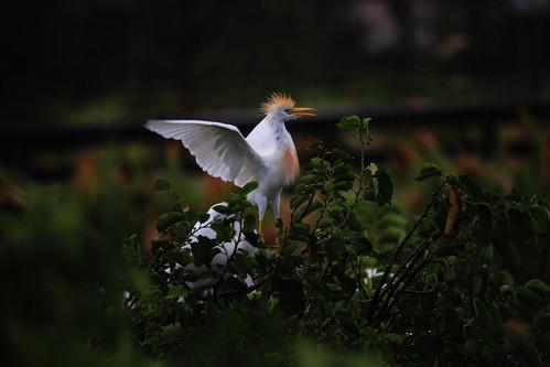 Proud Cattle Egret