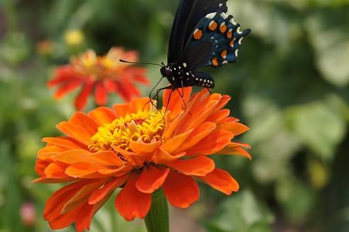 Butterfly on Zinna