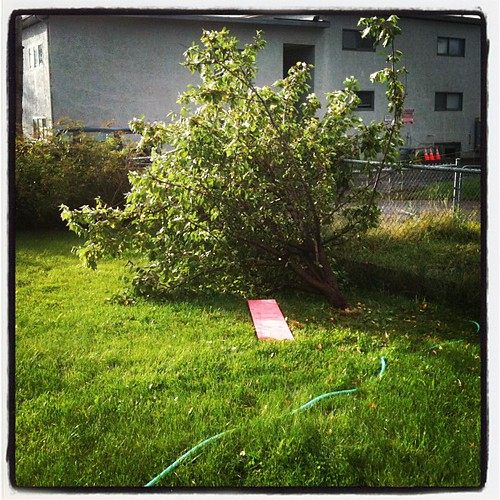 apple tree down