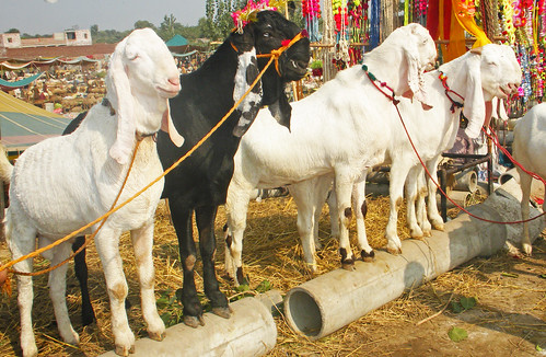 Beetal Goats in Pakistan