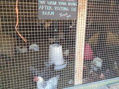 Chickens at Hackney City Farm