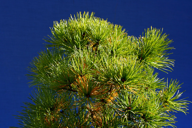 Noelanders White Pine Foliage
