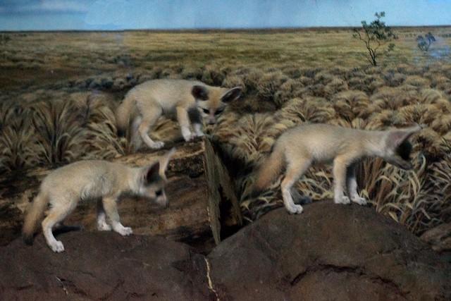 Three Fennec Fox Babie