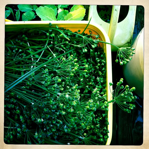 cutting garlic chive seed heads