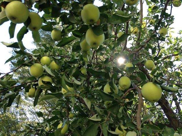 Moss Apple Tree