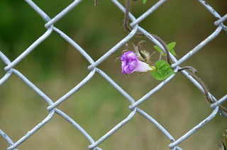 Chain Link and Morning Glory