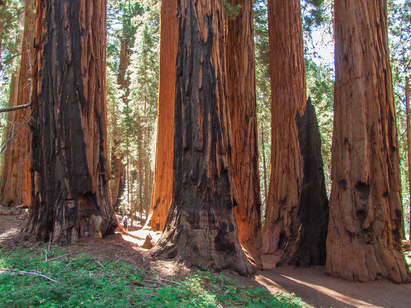 "Group of Giant Sequoias, named ""The Senate"""