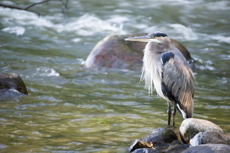 _DSC4862 Great Blue Heron