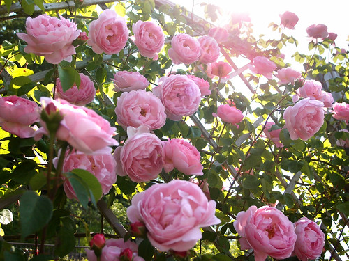 Rose Constance Spry バラ コンスタンス スプライ