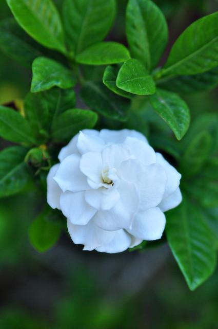 gardenia vertical