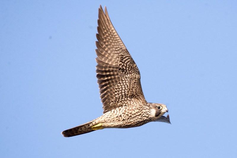_DSC4293 Peregrine Falcon
