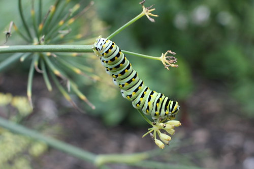 20120912. Caterpillar and fennel.