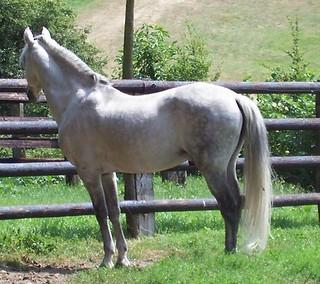 Barb stallion in France.