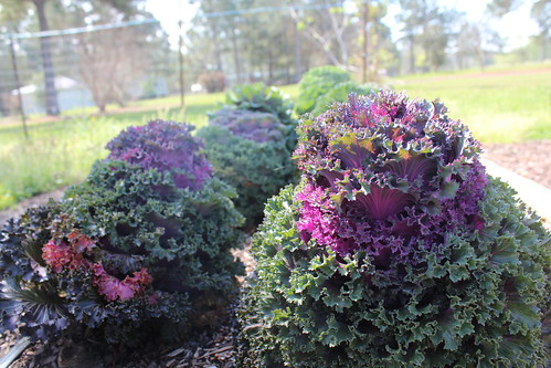 One of the People's Gardens that Coker established tests the effectiveness of different types of irrigation methods on cabbages and other winter crops. This garden is located behind the Biloxi, Miss. office of MSU's Coastal Research Extension Center
