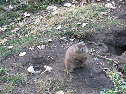 black tailed prarie dog