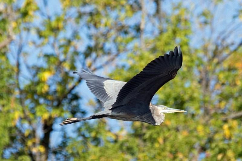 _DSC5153 Great Blue Heron
