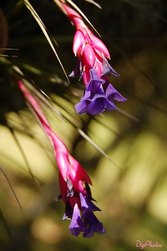 DSC_9386 Tillandsia sp. by DigiPhotus