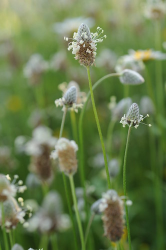 Plantago major by Lidia Zitara