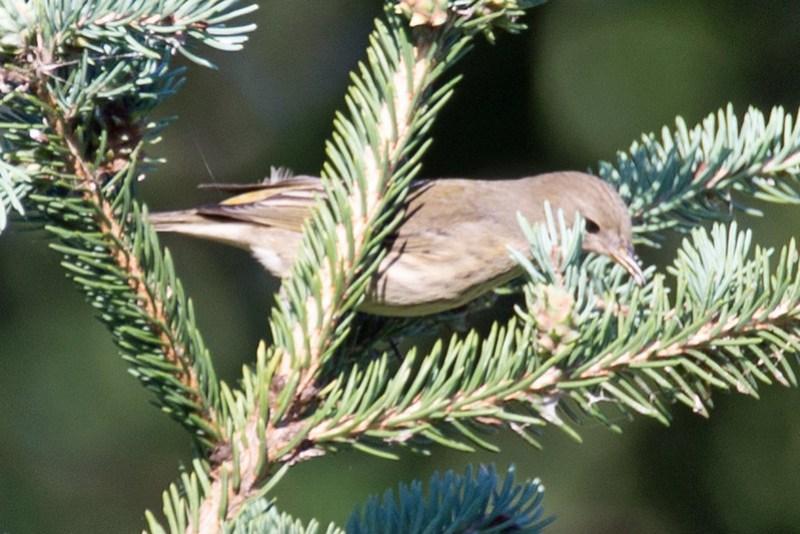 _DSC3840 Cape May Warbler